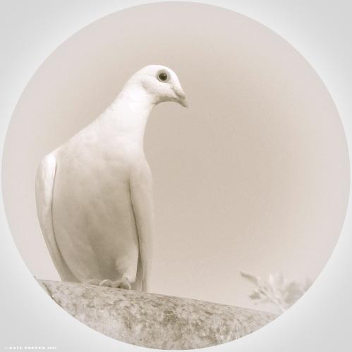 Circle Dove-1-3 - Copy